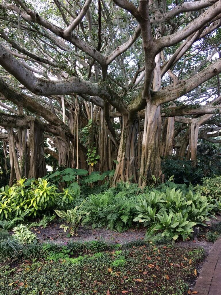A picture of a banyan tree.