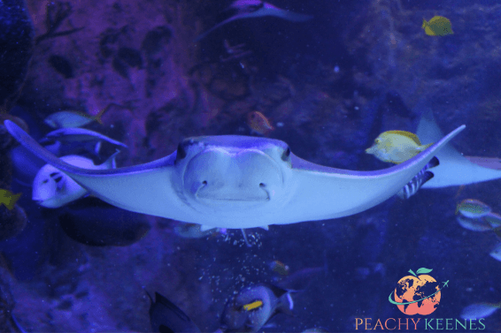 Picture of sting-a-ray at Sea Life Orlando