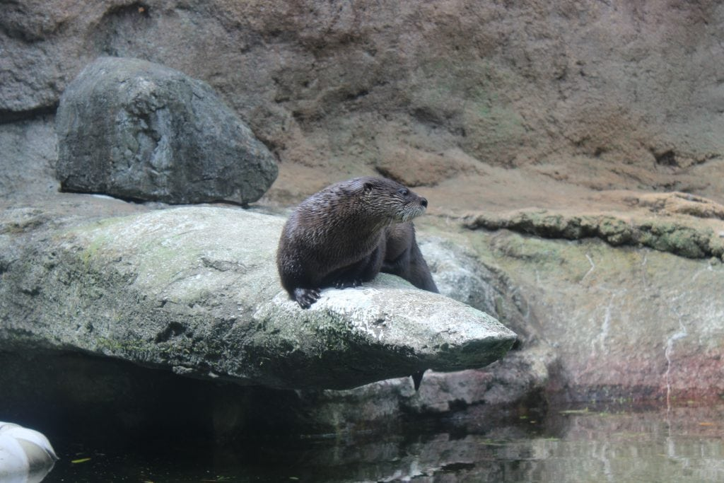 Picture of Otter