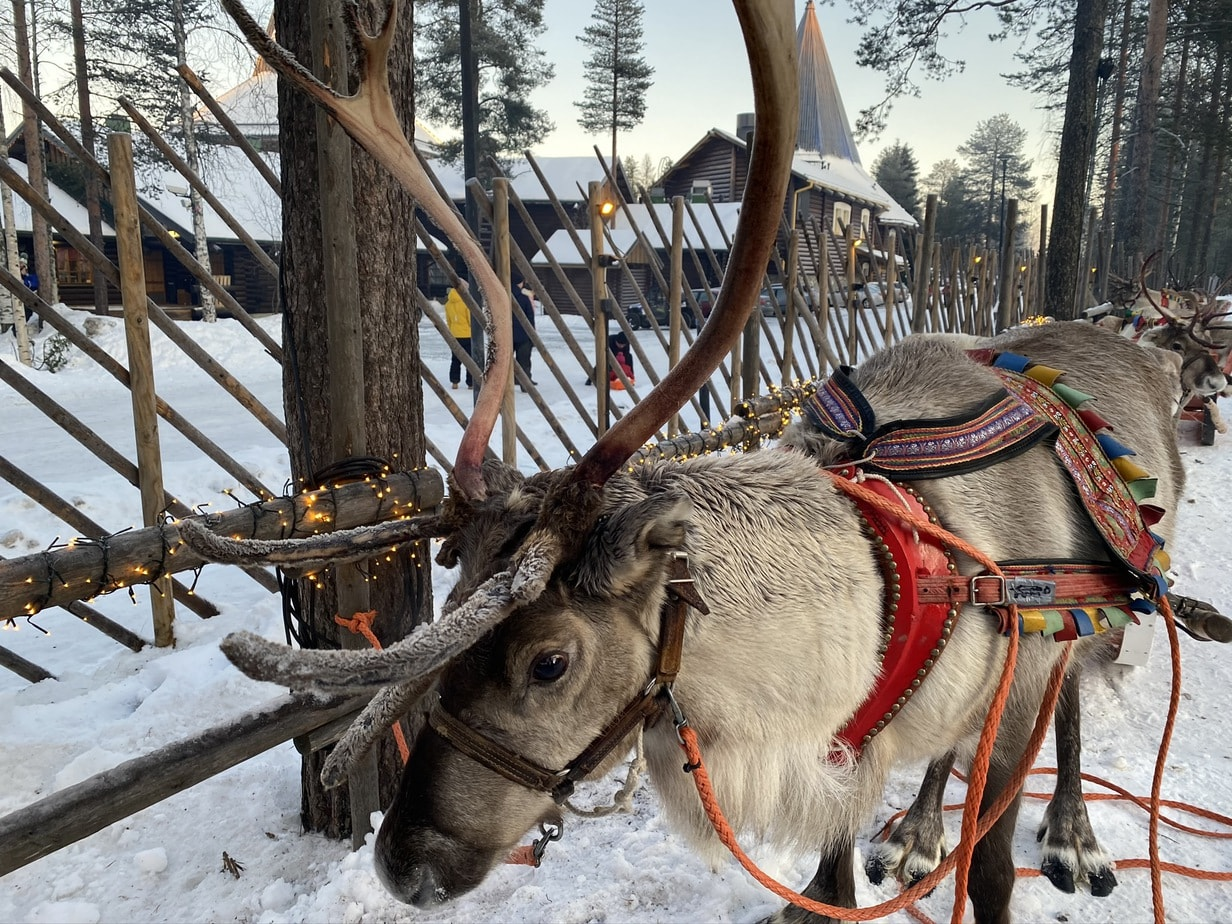 Reindeer in Santa Claus Village