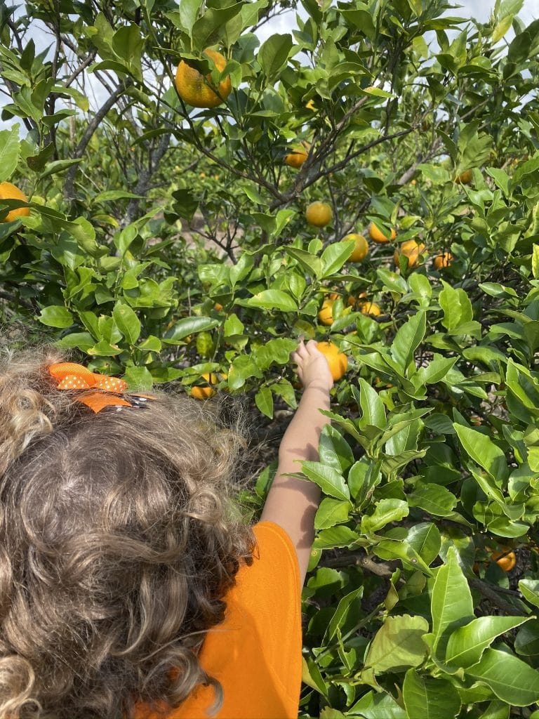 Girl picking an orange at Ridge Island Groves